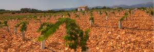 Young vines at Son Prim, Sencelles